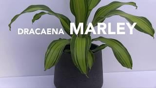 Tropical Plant of the Week: Dracaena 'Marley'