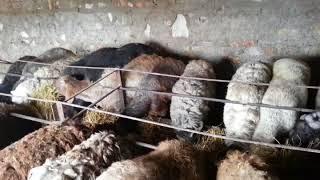Мясо барана: откорм животного и полезные свойства продукта