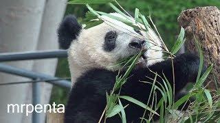 今日のシャンシャン10月10日上野動物園香香パンダ