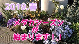 [メダカ日記]2019.3月末〜4月初旬 メダカが産卵開始!!