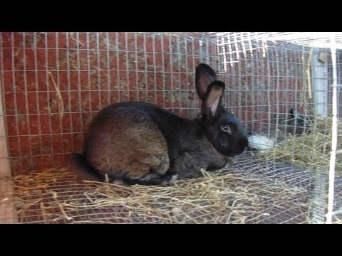 Video Rabbits - How We Treat a Rabbit For Ear Mites