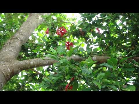 アオメガネトリバネアゲハの飛翔 Ornithoptera priamus urvillianus