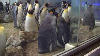 #2-40 Jan 2018 King penguin at Adventure world, Japan