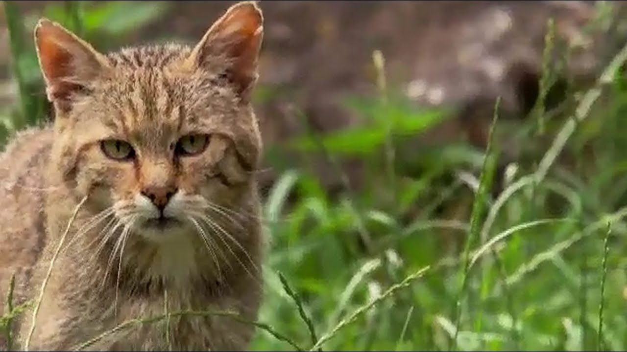 Wild Little Cats  - Narración en Portugués BRASIL