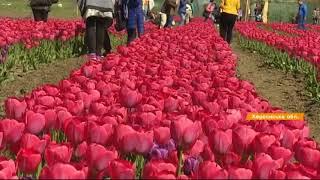 Маленькая Голландия в Украине - знаменитые тюльпаны родом из Херсона