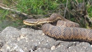 Змеи Приморского края Herping in Russia: Snakes of Primorsky Kray