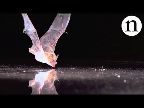 Echolocation Forces Poor Bats To Nosedive Into Metal