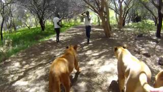 Walking with lions 8 Mauritius