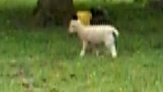 preview picture of video 'The Lambs in Rice lane city farm'