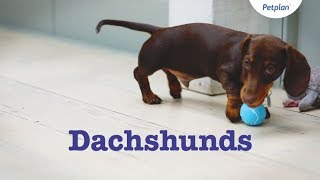 Dachshund Puppies & Dogs | Breed Facts & Information | Petplan