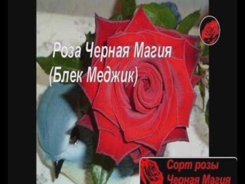 Чайно гибридная роза черная магия описание фото