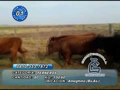 Lote Machos - Ameghino  Bs As