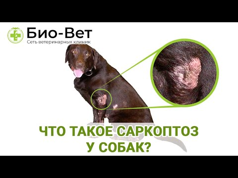 Что такое Саркоптоз у собак и чем он опасен для собак / Разбираемся с «Био-Вет»
