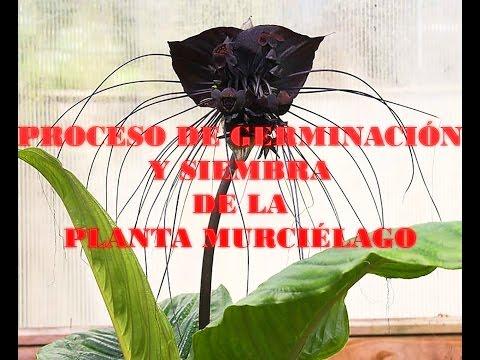 Proceso de germinación y plantación de la Planta Murciélago