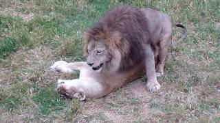 очень настойчивый лев. львиное царство Тайгана