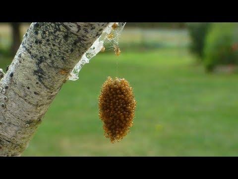 Les helminthes provoquant la démangeaison dans lanus