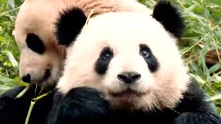 Michelle Obama Visits Giant Pandas In China