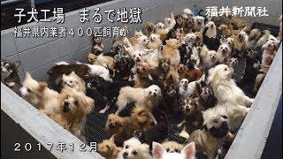 """すし詰め子犬工場「まるで地獄」ー Jam-packed puppy mill """"Just like a hell"""""""