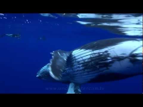 Buckelwalfamilie, Moorea Whalewatching,Französisch-Polynesien