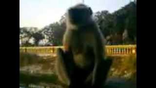 preview picture of video 'Langur with the visitors'