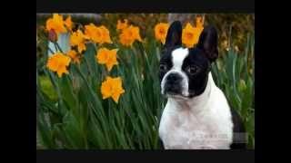 Все породы собак.Бостон Терьер (Boston Terrier)