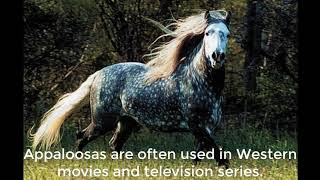 Appaloosa, Horse Care And Horse Facts About The Appaloosa Horses