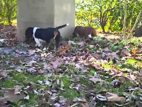 basset hound male puppy 112812k
