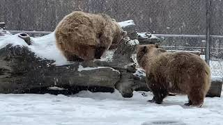 We got a bit of snow yesterday as you can see. Bears love it!
