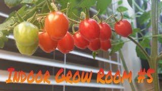 Indoor Grow Room 5 - Growing Ripe Tomatoes Indoors!