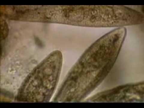 ปรสิตปลาทรายแดง