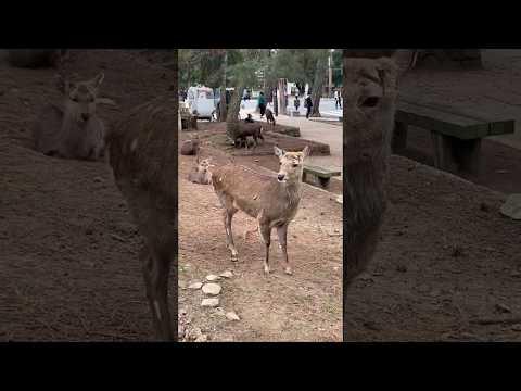 Deer attack in Nara, Japan
