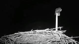 Osprey Nest Suffers Great Horned Owl Attacks