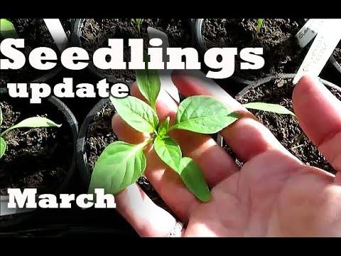 Vegetable & Flower seedlings update | Grow your own food| No Dig Gardening UK