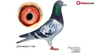 Linia Heinz Meier - gołębie do kupienia na aukcji już niebawem