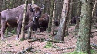 GERICHT: Wisent-Herde im Rothaargebirge stellt BGH vor schwierige Fragen