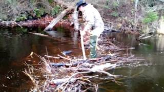 How to dispatch a beaver that is found alive
