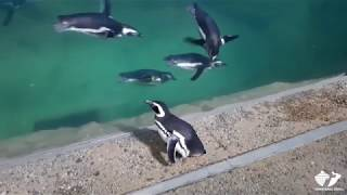 Zoo Insider - Penguins Tour the Aquarium