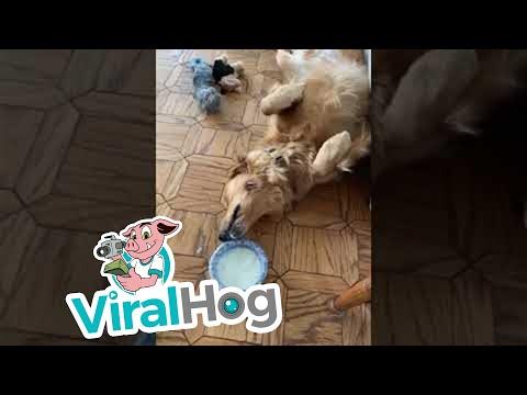 כלב עצלן מצא דרך מקורית ומצחיקה לשתות מקערה בלי לקום