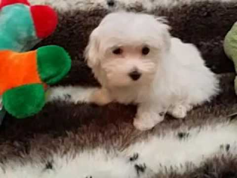 CUTE LITTLE FEMALE MALTESE