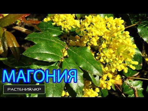 Магония падуболистная / Магнолия посадка и уход / цветущие кустарники