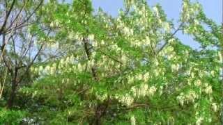 HDはりえんじゅにせあかしあみやこぐさ,マメ科の花、淀川河川敷