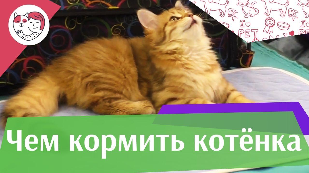 4 правила кормления котенка на ilikepet