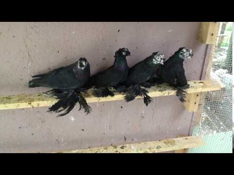 , title : 'Caucsian Pigeons Black