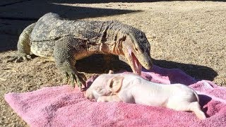 Lizard Swallows a Pig Whole  (Short Version)
