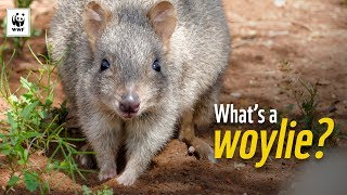 5 Facts About Woylies | WWF-Australia