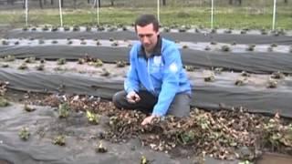 Смотреть онлайн Правильный уход за садовой клубникой ранней весной