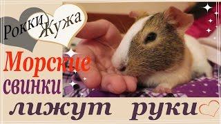 Морская свинка лижет руку хозяйке. Why guinea pig licks the hand of her mistress?
