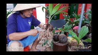 Các công đoạn làm nên dừa bonsai / step by step to have a coconut bonsai