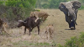 Hero Elephant Save Buffalo In Despair Between King Lions Hungry Hunting - Attack Animals