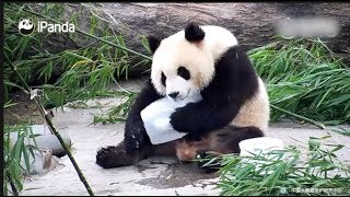Giant Pandas Are Trying To Beat The Heat
